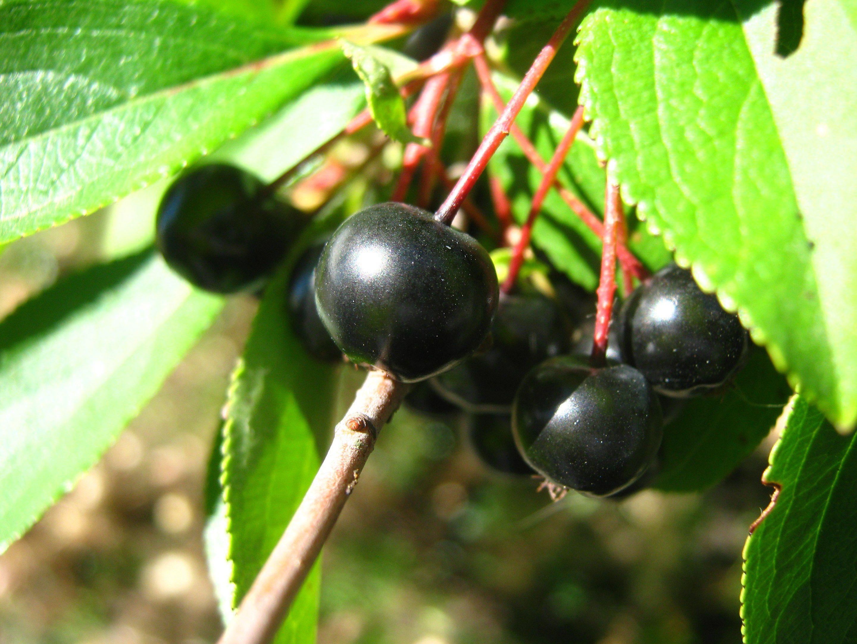aronia owoc